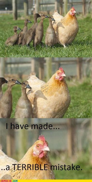animals,chicken,ducks,mistake,the internets