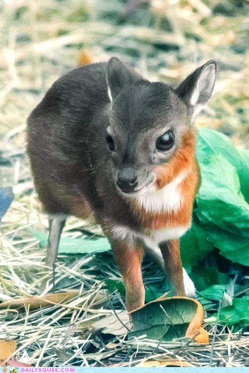 World's Smallest Antelope!