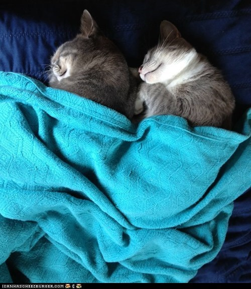 blankets,Cats,cyoot kitteh of teh day,sleeping,spooning,tucked in,two cats