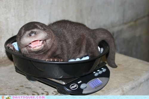 baby,cry,otter,otters,scale,scales,squee,weigh,weighing,weight