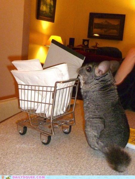 chinchilla,miniature,shopping,shopping cart