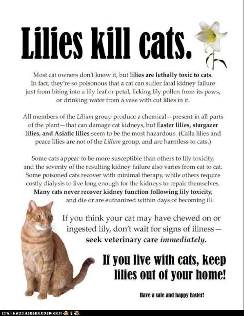 A Public Service Announcement: Cats and Lilies