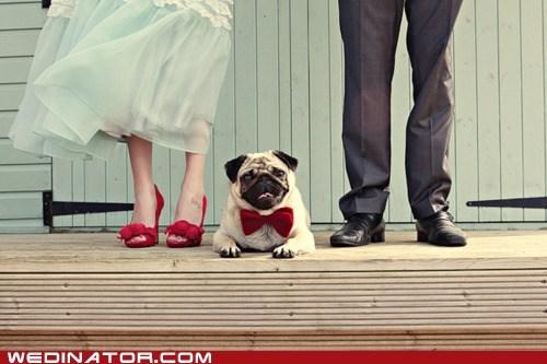 bowtie,cute,dogs,feet,funny wedding photos,Hall of Fame,pose,pug