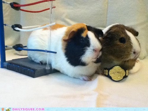 belt,boxing,champions,guinea pigs,pets,reader squees,ring