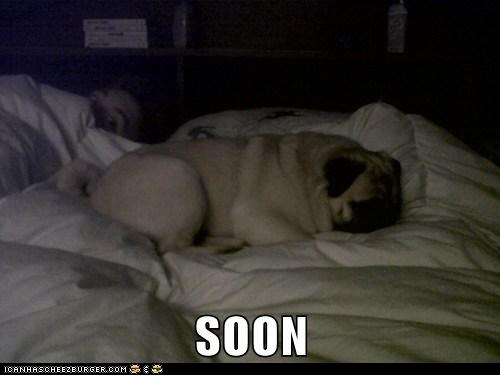 Not even pugs are safe!