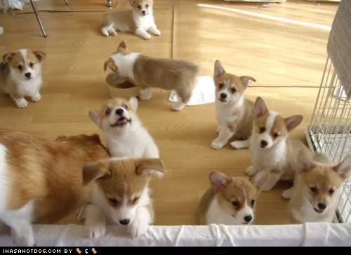 Cyoot Puppy ob teh Day: A Pack of Corgis