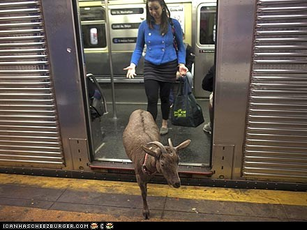 Around the Interwebs: Cocoa the Pizza Goat Roams New York City