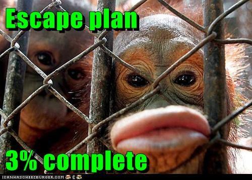 almost,complete,escape,lips,orangutan,orangutans,percentages,plan,start