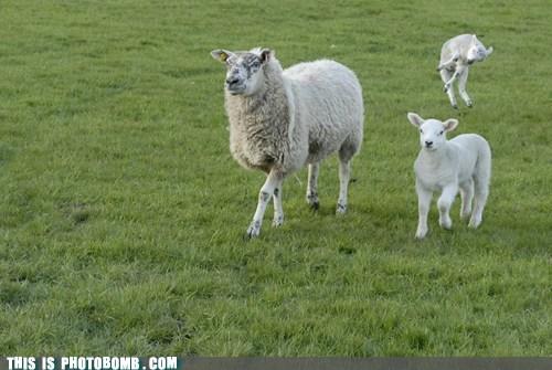 animal,Animal Bomb,lamb,the force