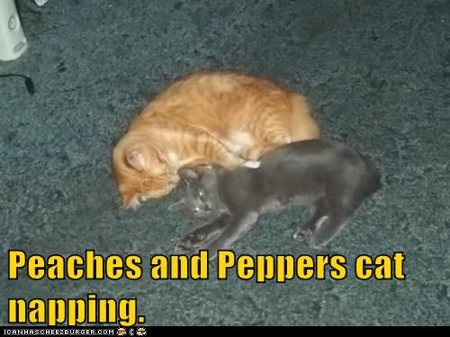 Peaches and Peppers cat napping.