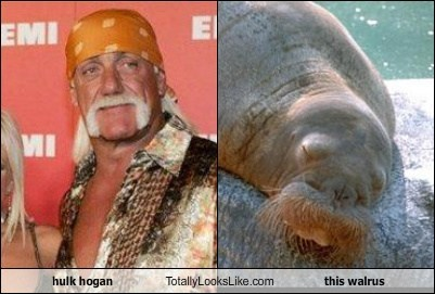hulk hogan Totally Looks Like this walrus