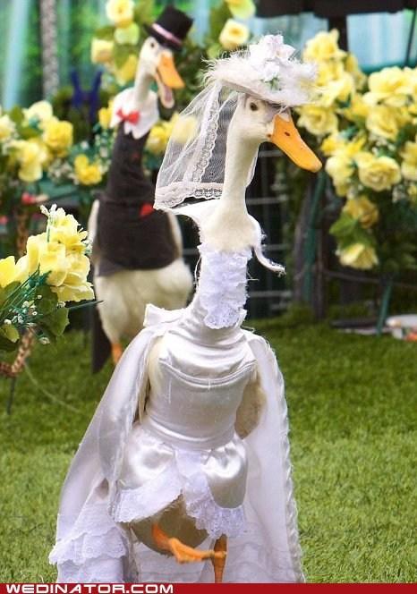 animals,funny wedding photos,geese,wedding dress