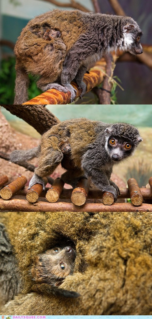 baby,carry,fur,hide,lemur,mom,sleep