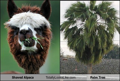 Shaved Alpaca Totally Looks Like Palm Tree