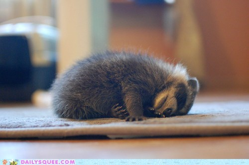 Daily Squee: Recharging Raccoon