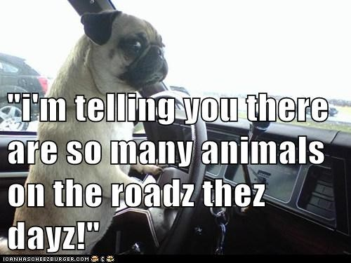 """i'm telling you there are so many animals on the roadz thez dayz!"""