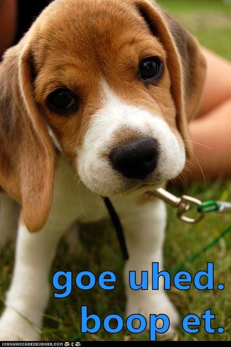 beagle,boop,cute,dogs,puppy