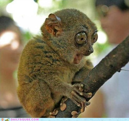 Daily Squee: Creepicute - Tarsier is Shocked!