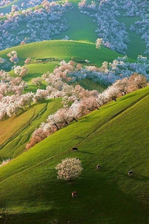 Spring Apricot Blossoms, Shinjang, China