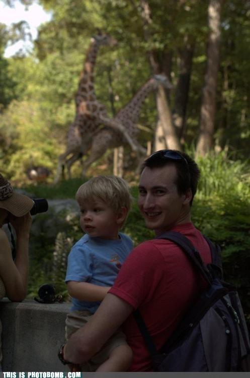 animal,Animal Bomb,best of week,doing it,giraffes,nature