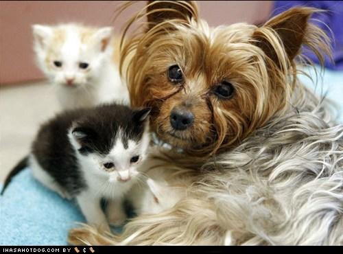 dogs,kittehs r owr friends,kitten,yorkie