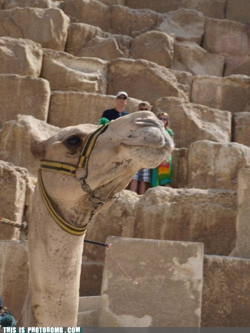 Ridiculously Photogenic Camel