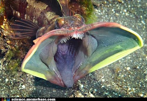 fish,horrible,oceanography,sarcastic fringehead,Terrifying
