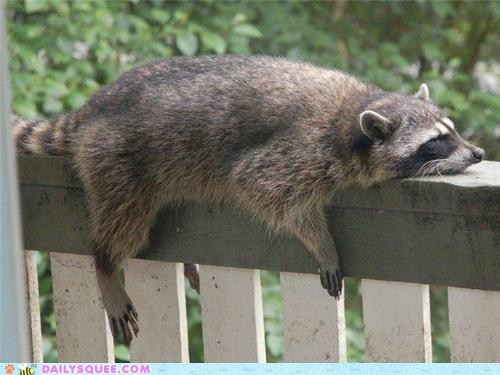 lazy,monorail,nap,Planking,raccoon,raccoons,squee,tired