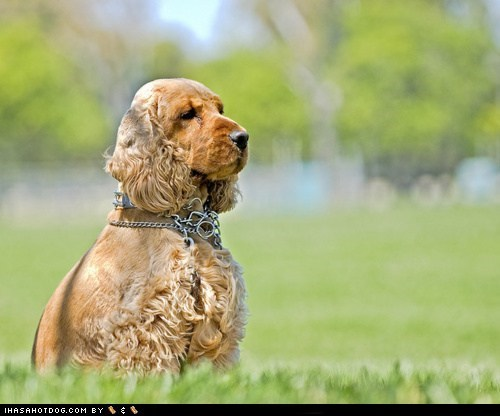 Goggie ob teh Week FACE OFF: Cocker Spaniel