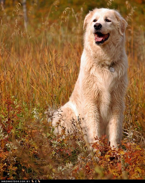 Goggie ob teh Week FACE OFF: Maremma Sheepdog