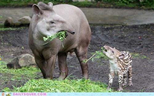 baby,greens,mommy,tapir,veggies