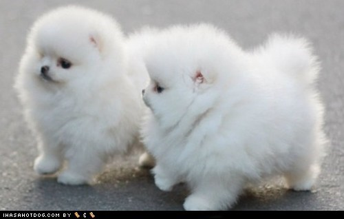 Cyoot Puppy ob teh Day: Fluff Balls