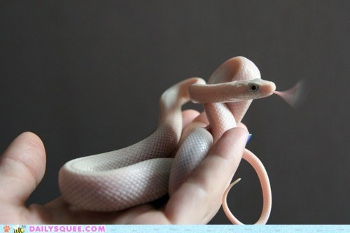 creepicute,pink,reptilian,snake,squee,texas rat snake,tongue