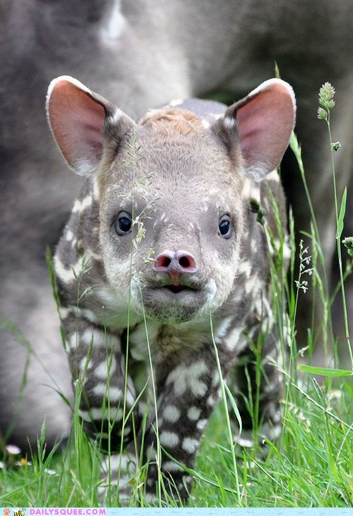 Whatsit: Tapir Calf, born at the Linton Zoo, Cambridge, UK