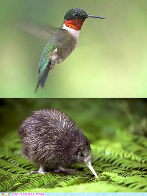 Squee Spree: Humming Bird vs. Kiwi