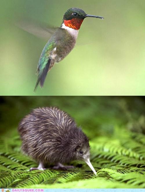 Battle,hummingbird,kiwi,squee spree