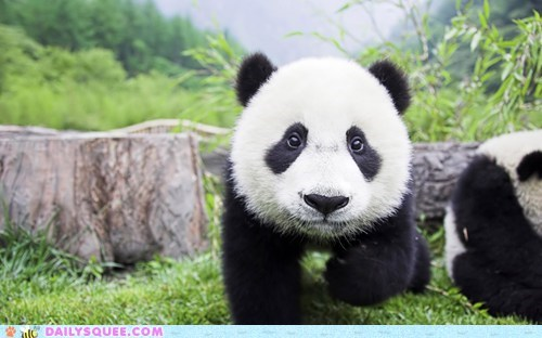 Not So Shy Panda