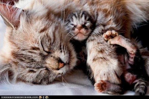 Cats,cuddles,cyoot kitteh of teh day,kitten,mama,moms,newborns