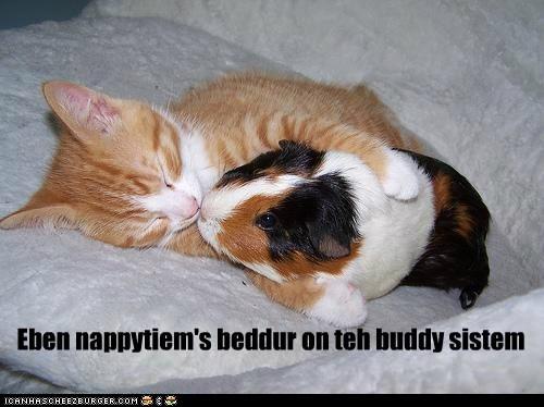 cat,cuddle,guinea pig,KISS,kitten,nap,sleep
