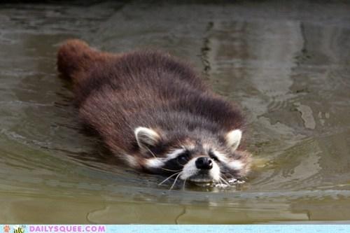 raccoon,swimming,water,wet