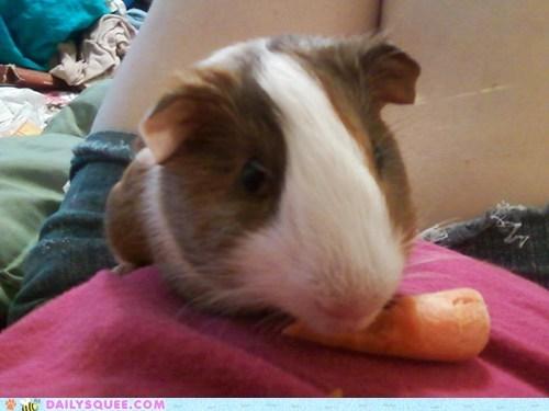 carrot,guinea pig,pet,reader squee