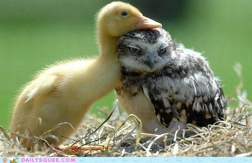 birds,duckling,Hall of Fame,hug,Interspecies Love,Owl