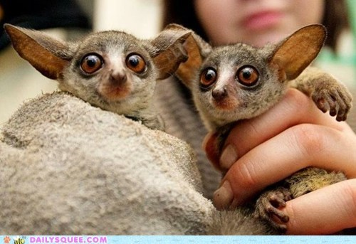 Daily Squee: Newborn Bush Babies