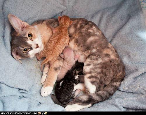 Cats,cyoot kitteh of teh day,kitten,mama,milk,moms,newborns,nursing,tiny