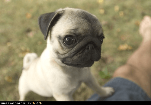 Cyoot Puppy ob teh Day: Widdle Pug