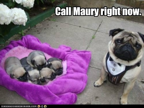 you are the father,Babies,dogs,pug,puppies,maury show
