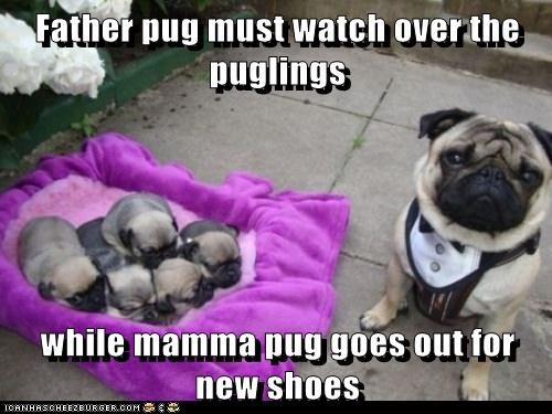 Father pug must watch over the puglings  while mamma pug goes out for new shoes