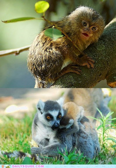 Squee Spree: Marmoset vs. Lemur