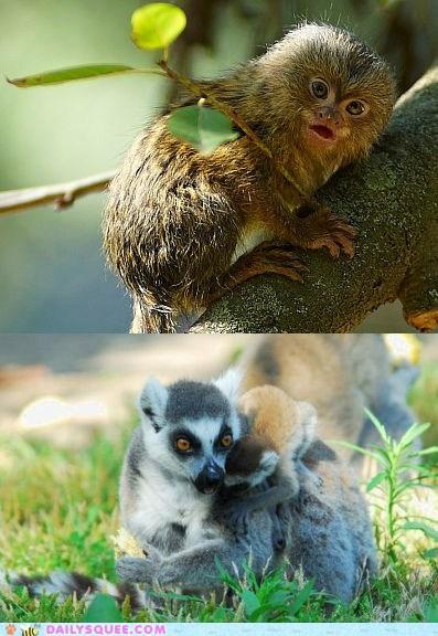 Battle,lemur,marmoset,monkey,squee spree