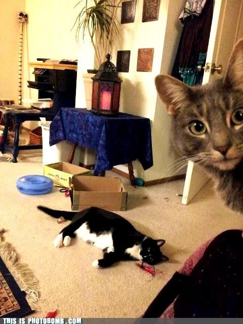 Animal Bomb,animals,Cats,playtime